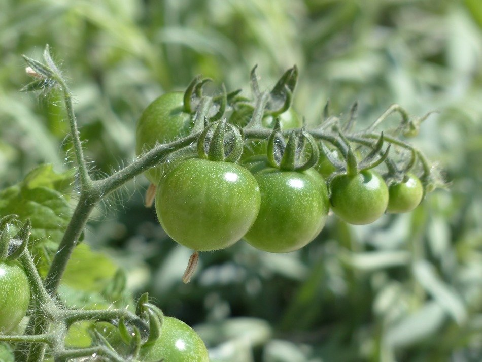 green immature tomatoes on branch