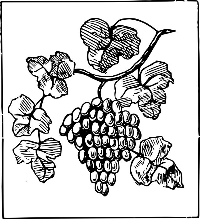 Black and white drawing of a Vine with a bunch of grapes