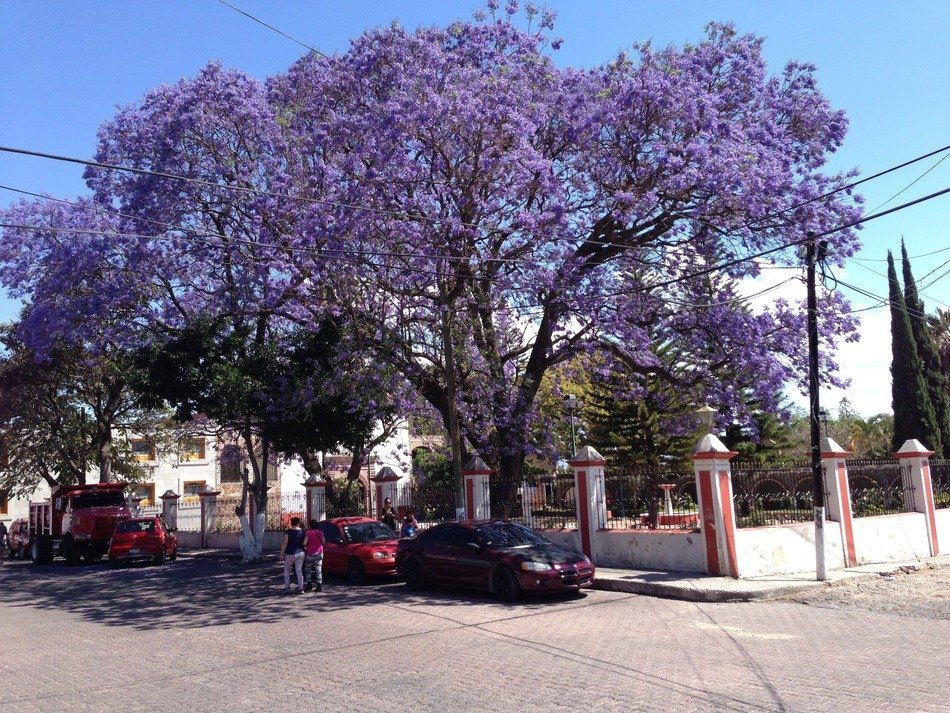jacaranda is a violet tree