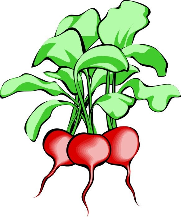 three ripe radishes as a graphic image