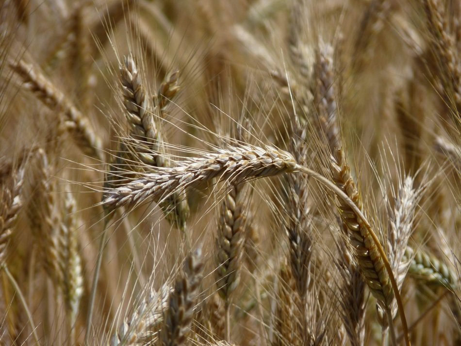 harvest in field, ears of ripe cereal close up