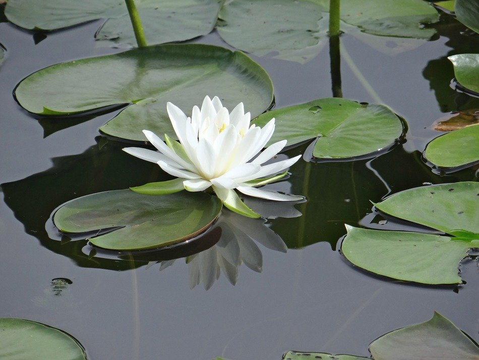 white water lily floating in pond