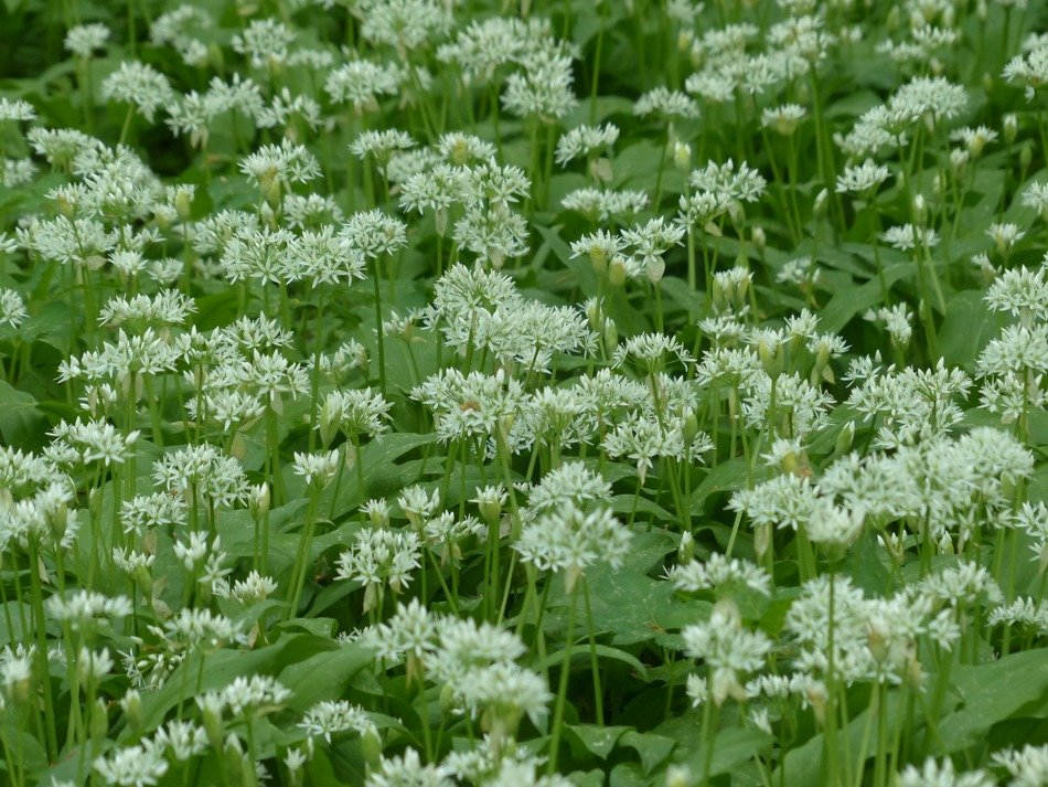 bear's garlic flowers