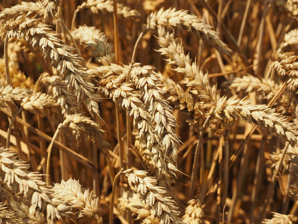 field of golden wheat spikes