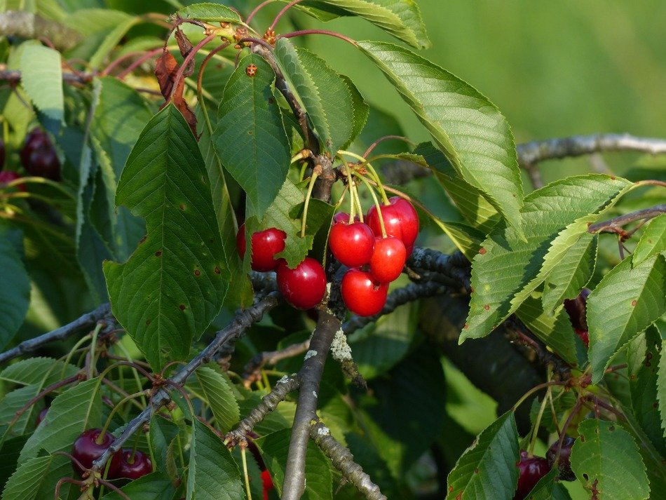 prunus avium cherry sweet red fruit