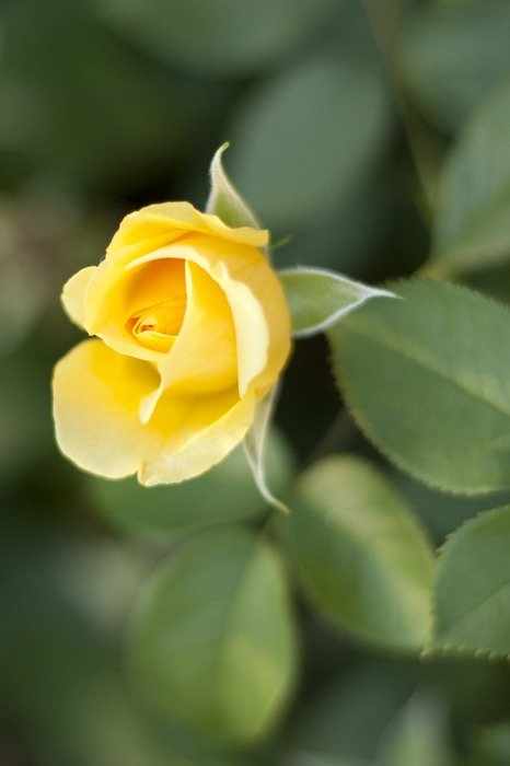 yellow rose bud in the garden