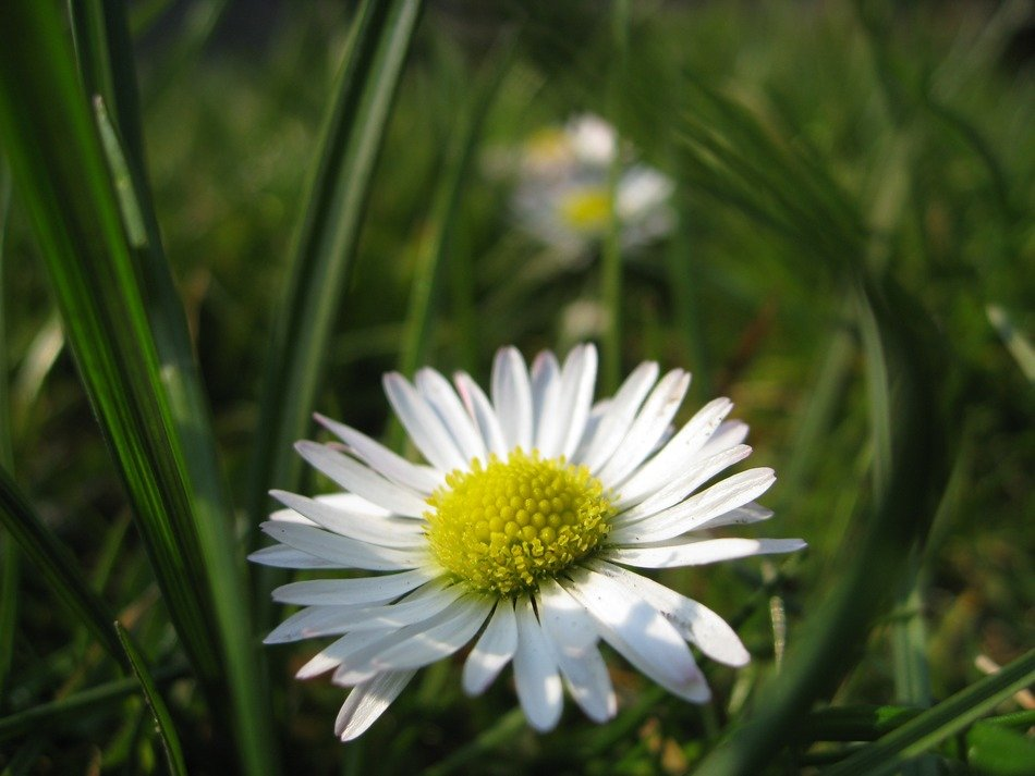 beautiful summer white daisy flower