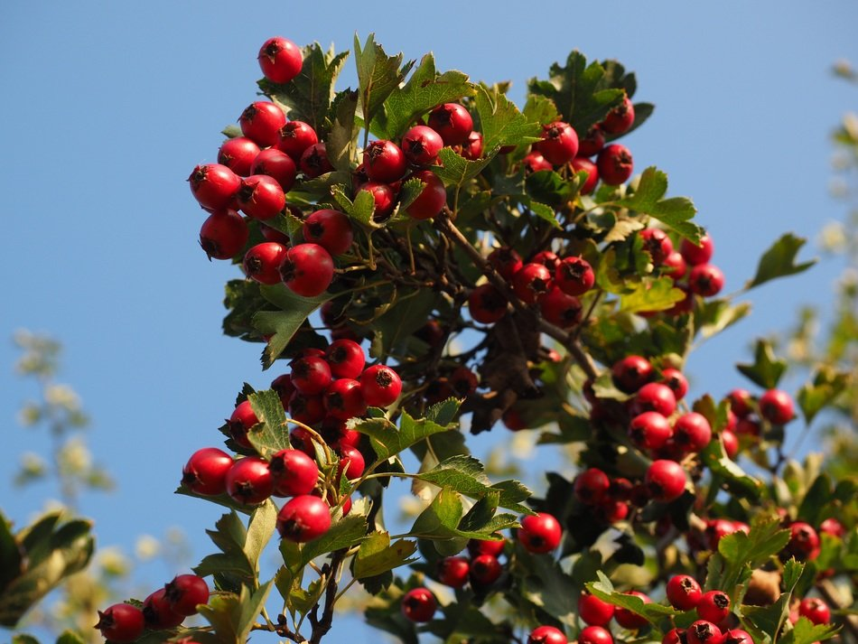 red wild rose berries on branches with green leaves
