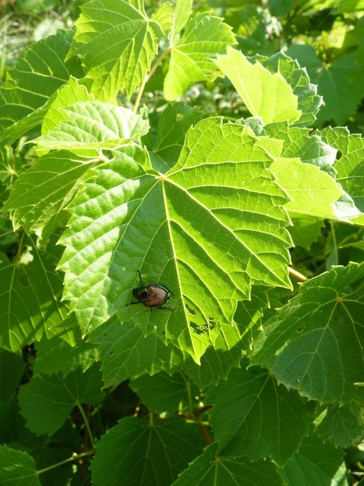 Japanese beetle sit on a large green leaf