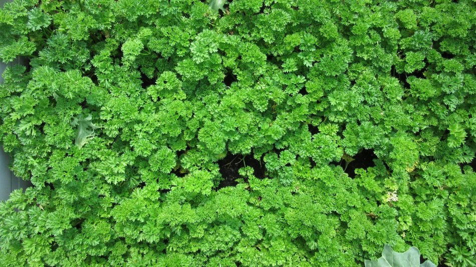 many parsley leaves