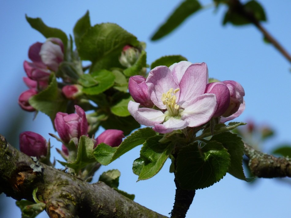 pink apple blossom flower close-up