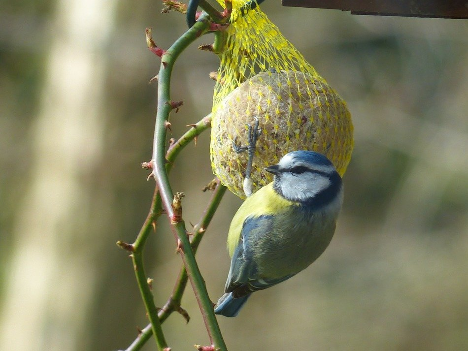 small blue tit pecking fruit