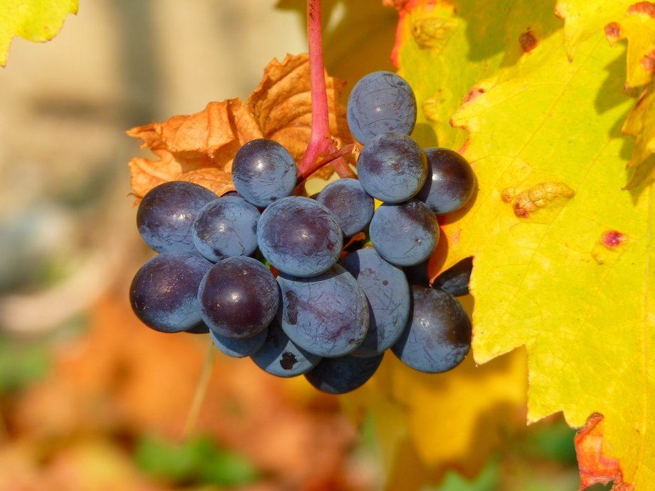 blue grapes is an autumn harvest