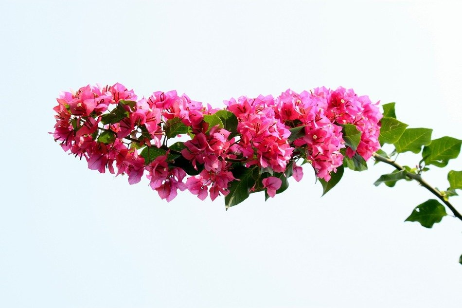 flower bougainvillea pink plant blooming