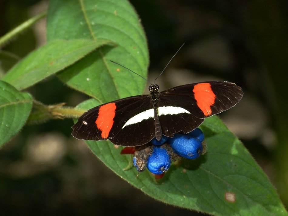 colorful butterfly insect sitting on berry leaf