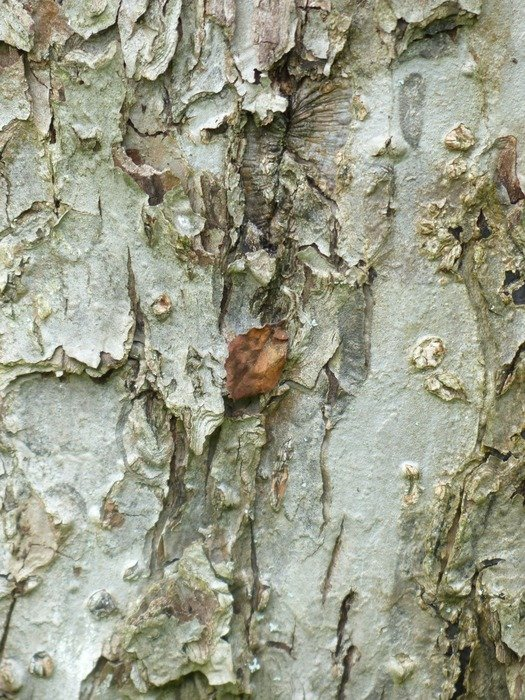 Fruit tree bark close-up