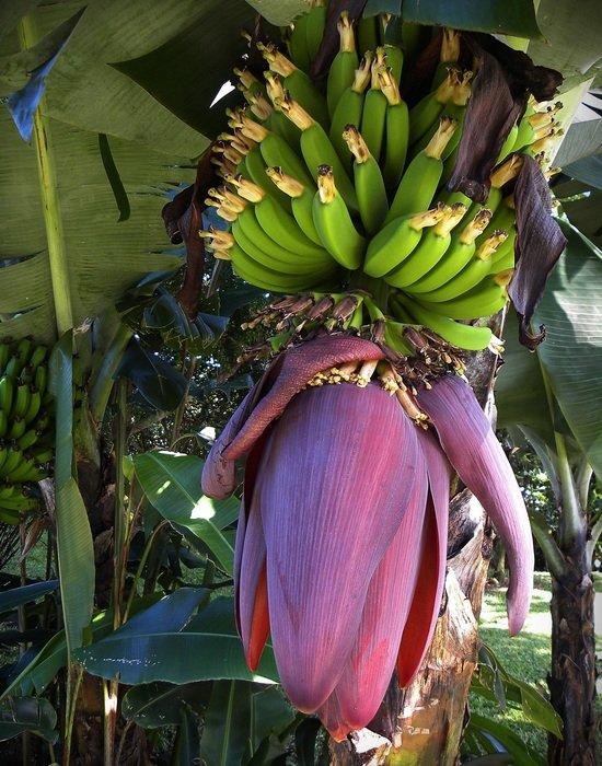 purple flower banana tree