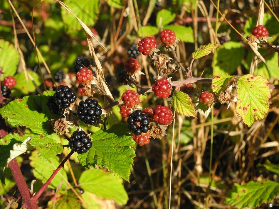 incredibly tasty wild blackberry
