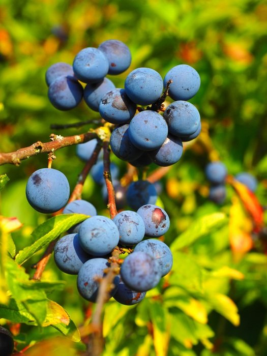 schlehe berries blue bush fruit in the forest