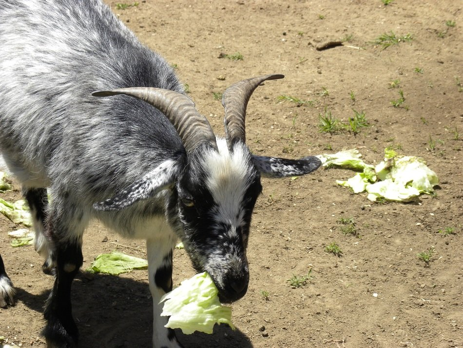 grey goat eating lettuce outdoor