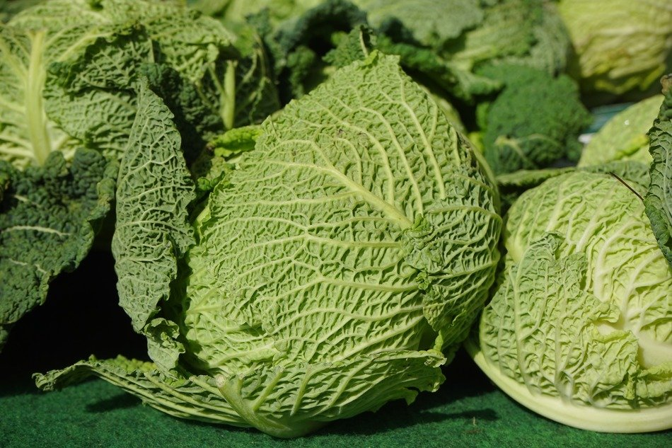 savoy green cabbage macro view