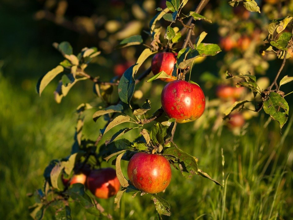 red apples on branches at green grass