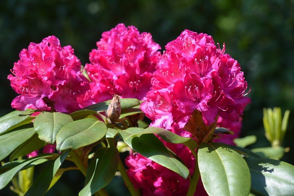 pink rhododendrome flower