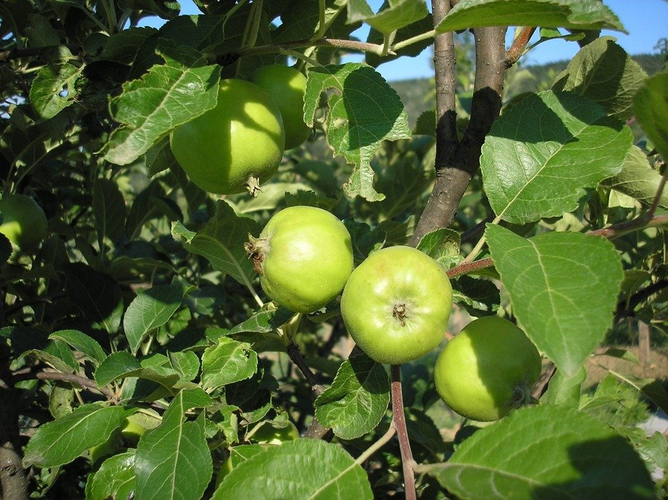 green apples on a spring branch