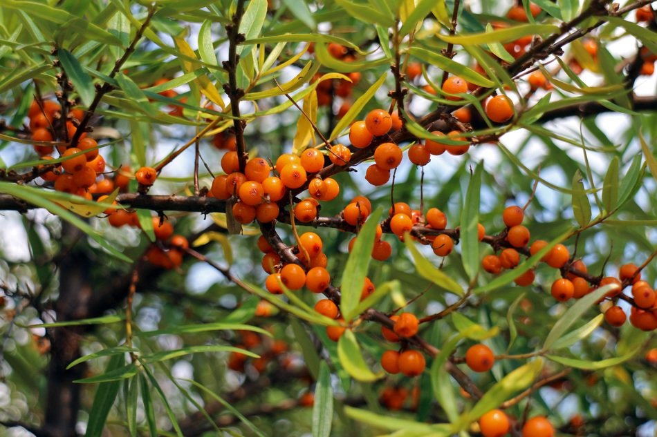 sea buckthorn fruits berries
