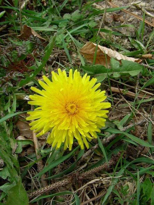 lonely yellow dandelion