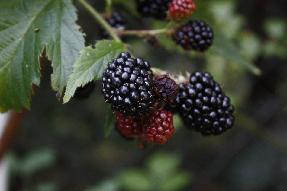 black and burgundy blackberries on a branch