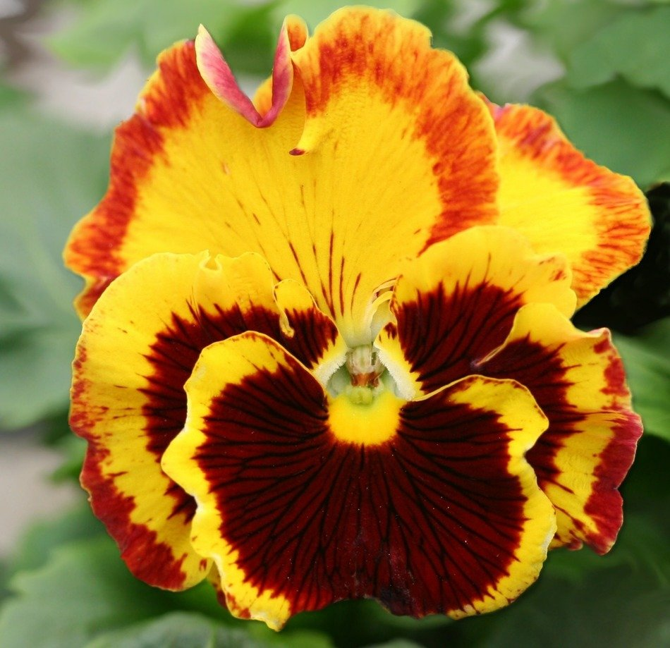 macro photography of colorful garden pansy