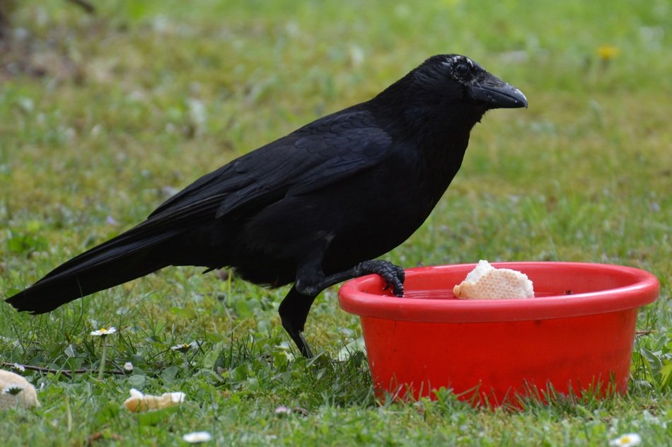 foraging black raven