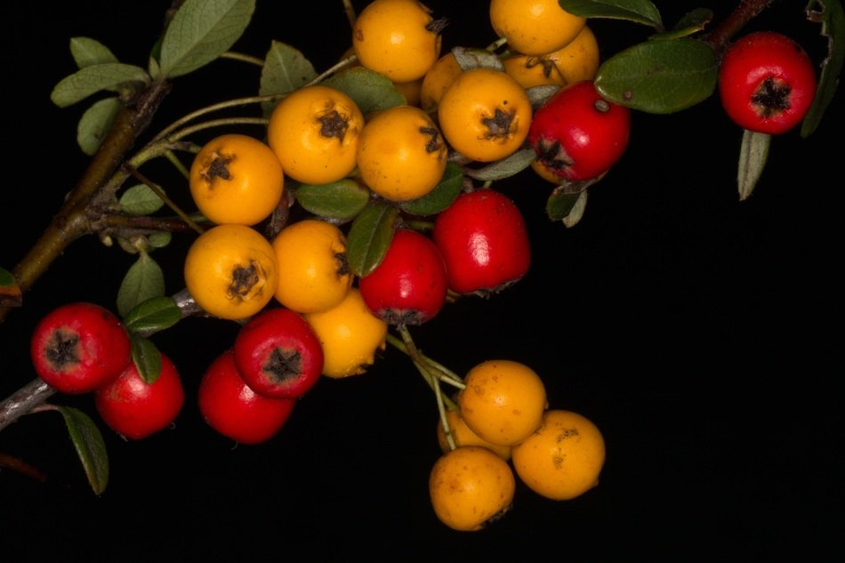 red and yellow berries on a branch in the dark