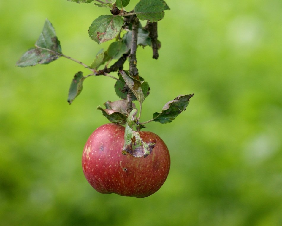 tasty red apple on a branch