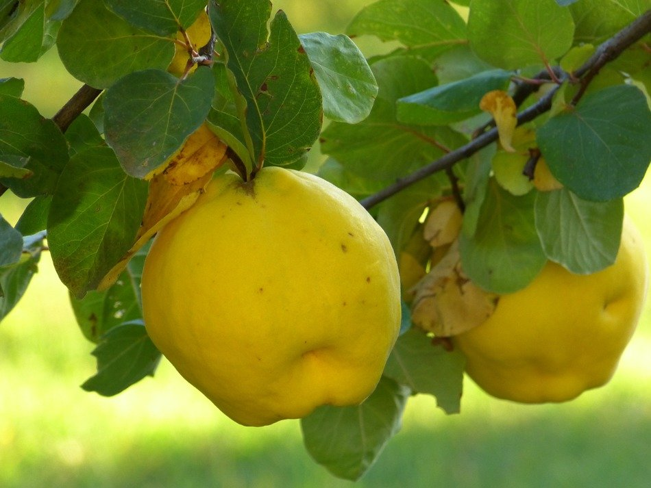 yellow quince fruits plant