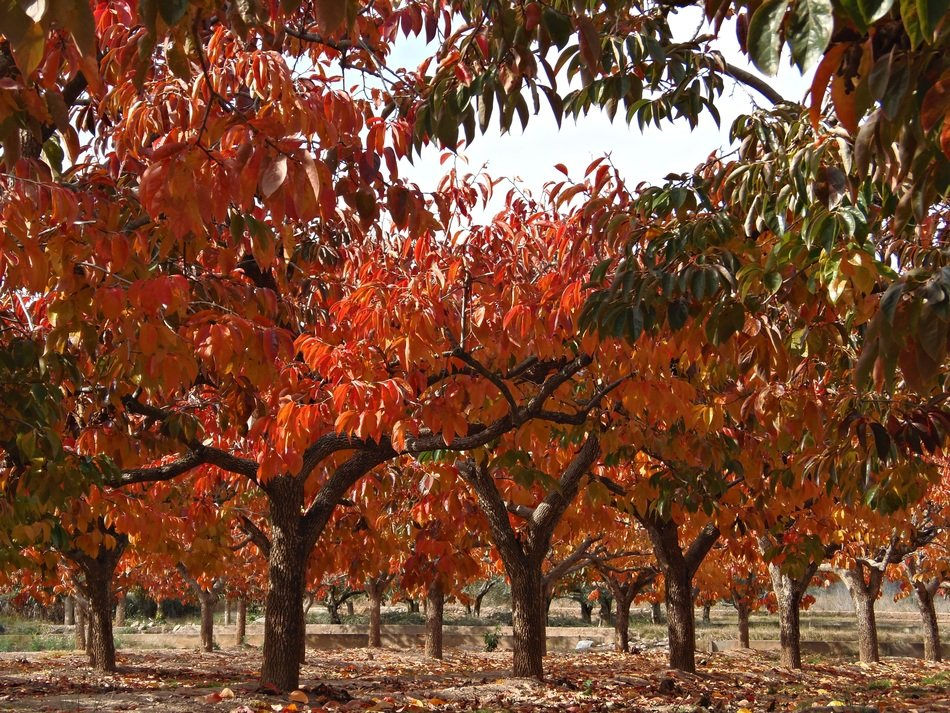 fruit trees with red and yellow leaves