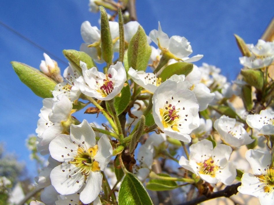 blooming pear tree branches at sky