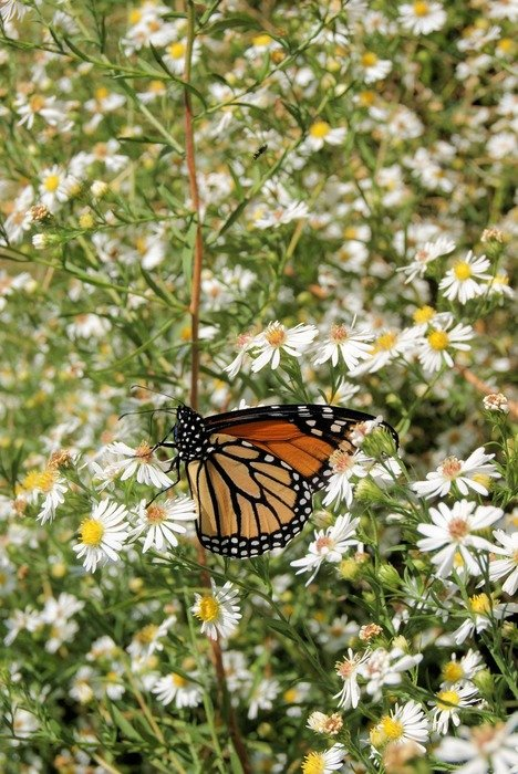 monarch butterfly insect