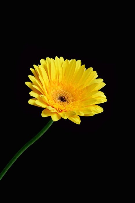 yellow floral plant gerbera black background
