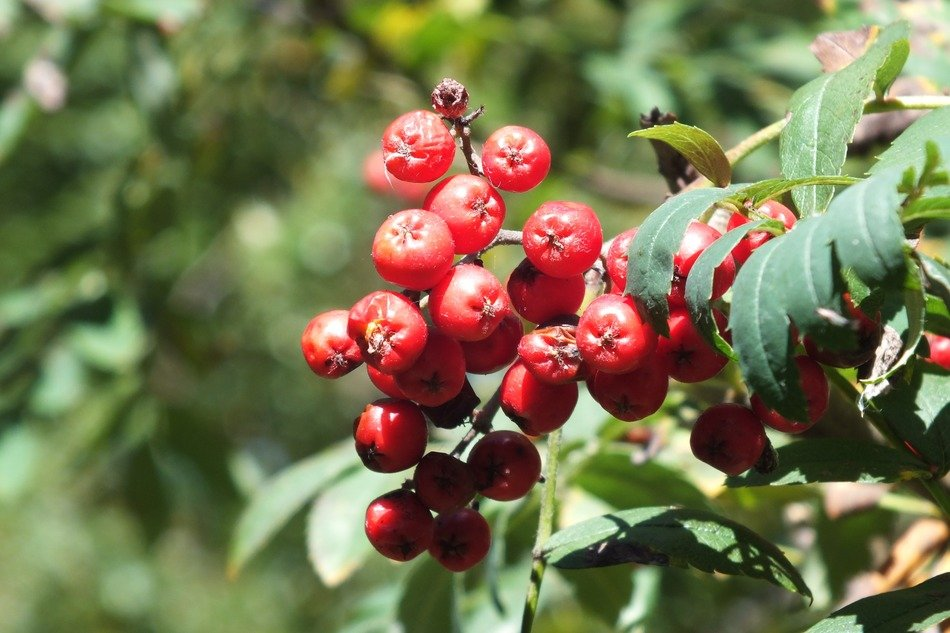 rowan berries on a branch