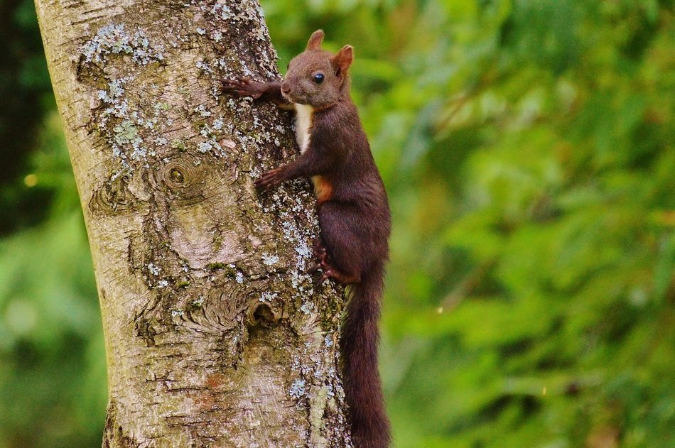 climbing squirrel on the tree trunk