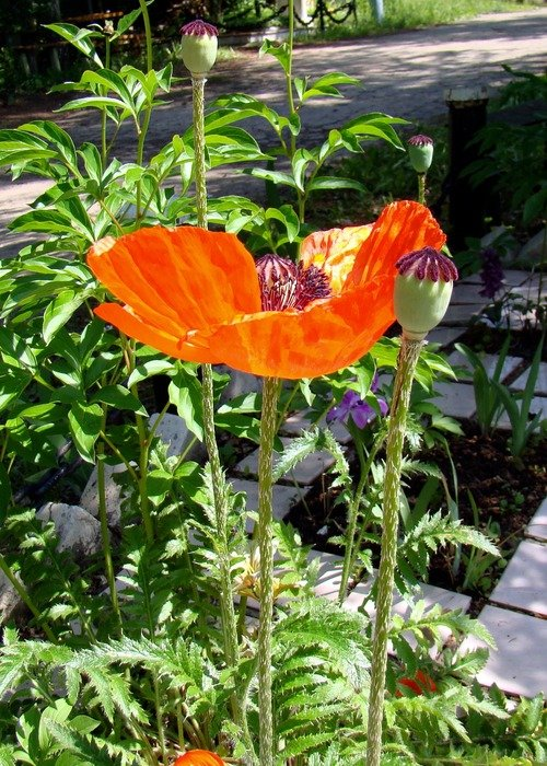flowering poppies in a sunny garden