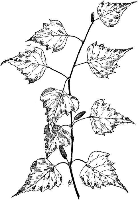 Black and white drawing of the branch with the leaves clipart