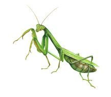 Clip art of green Grasshopper