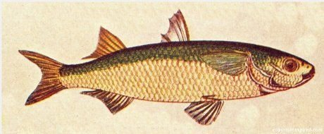 Yellow Perch Fish clipart
