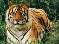 Endangered Bengal Tigers photo