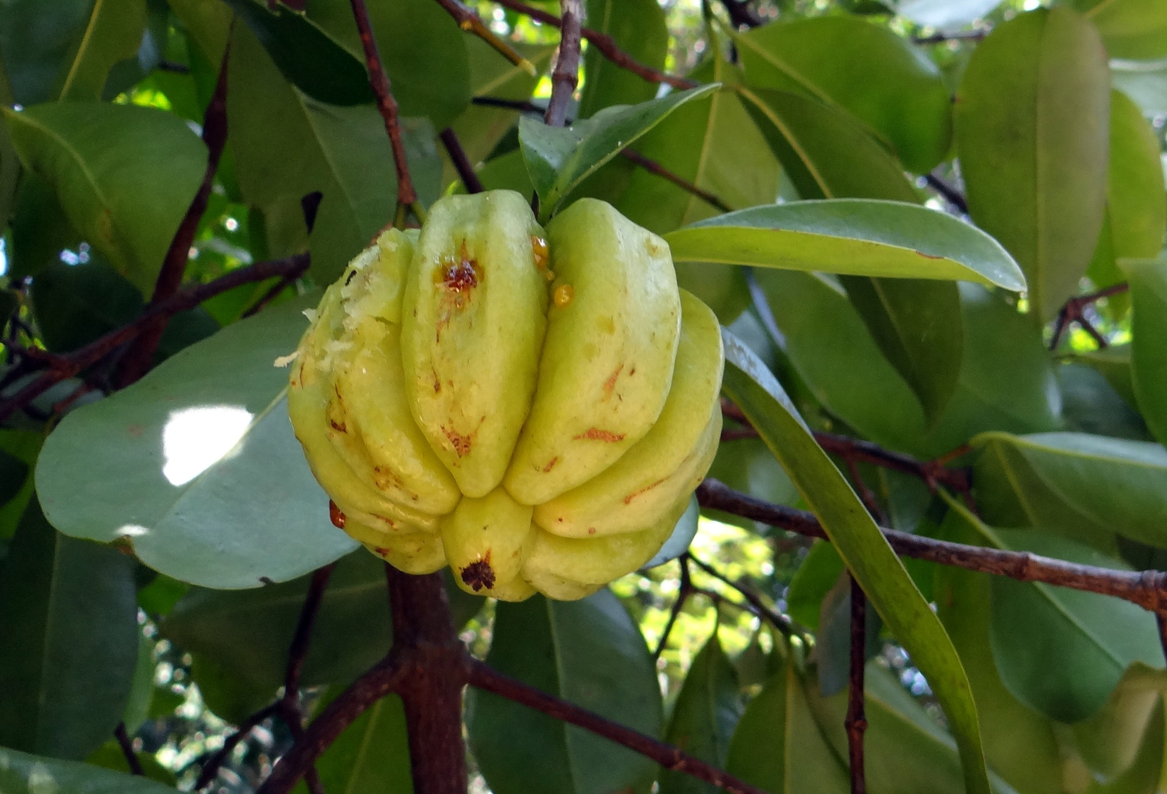 Garcinia Cambogia Fruit On The Tree Free Image