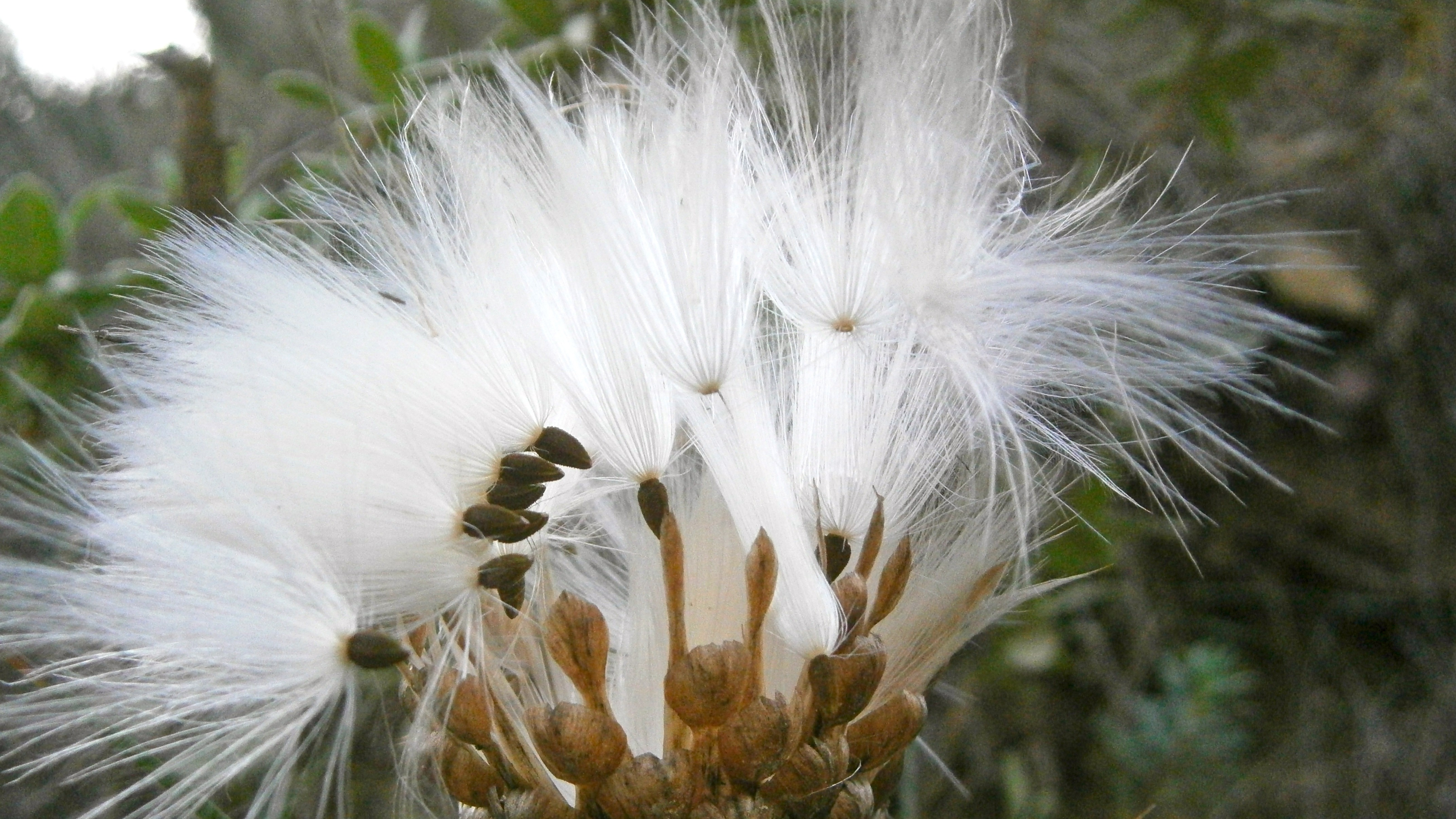 Fluffy White Thistle Flower Free Image