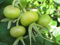 green unripe tomatoes on a bush